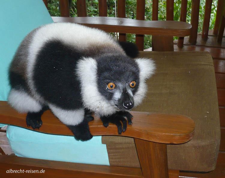 Lemur auf Sessel